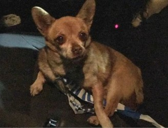 Chihuahua 'Arrested' in Co. Armagh