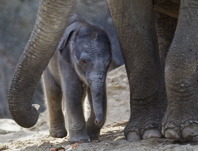 Another Baby Elephant Has Been Born At Dublin Zoo