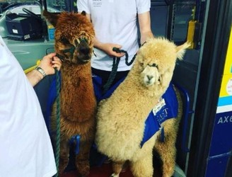 Two Alpacas Spotted On Dublin Bus