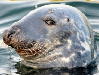 Have You Seen The Friendly Seal In Howth