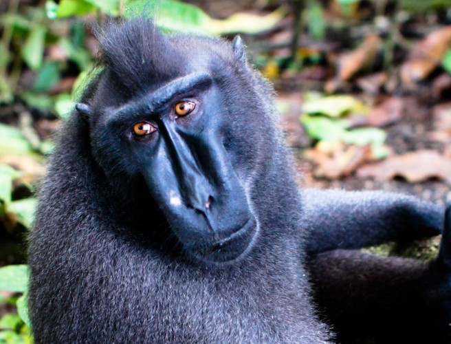 'Monkey Selfie' Lawsuit Settled Out Of Court