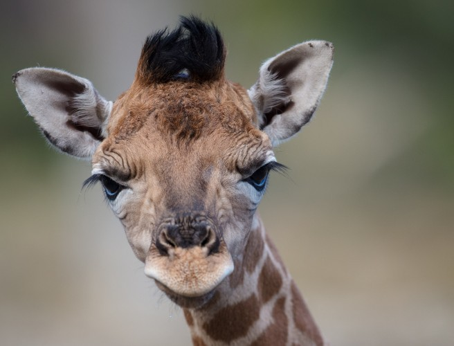 A Giraffe Has Been Born At Dublin Zoo