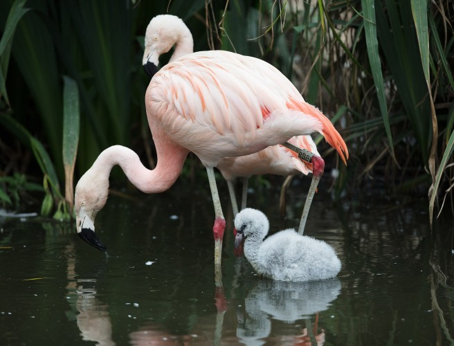 Nine Flamingo Chicks Hatch At Dublin Zoo